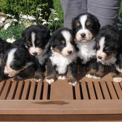 Cachorros de joy
