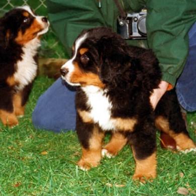Cachorros hijos de Maira y Angelo